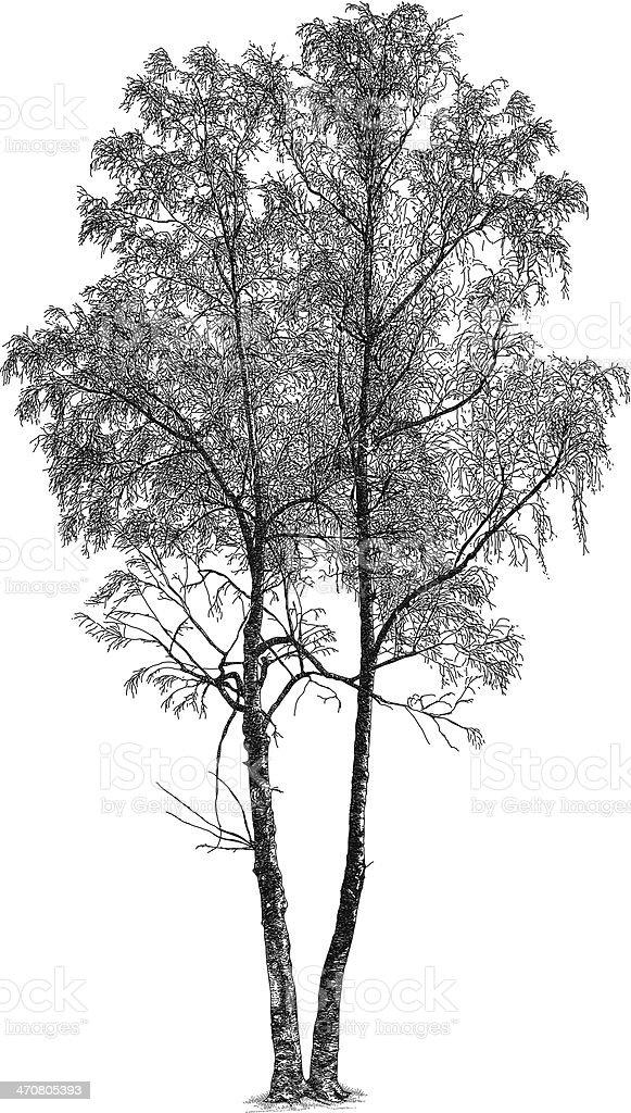 Silver Birch vector art illustration