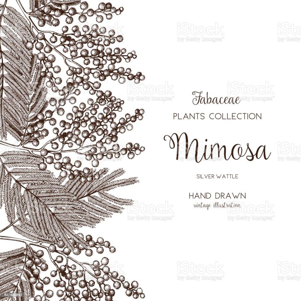 silver wattle design vector art illustration
