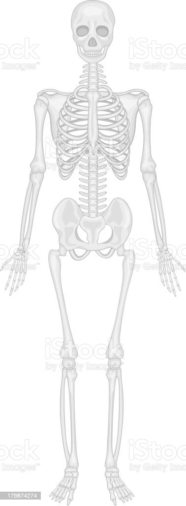 Skeletal system royalty-free stock vector art
