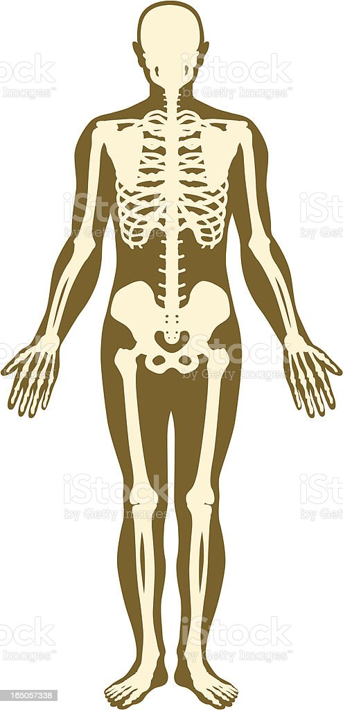 Skeleton and body. royalty-free stock vector art