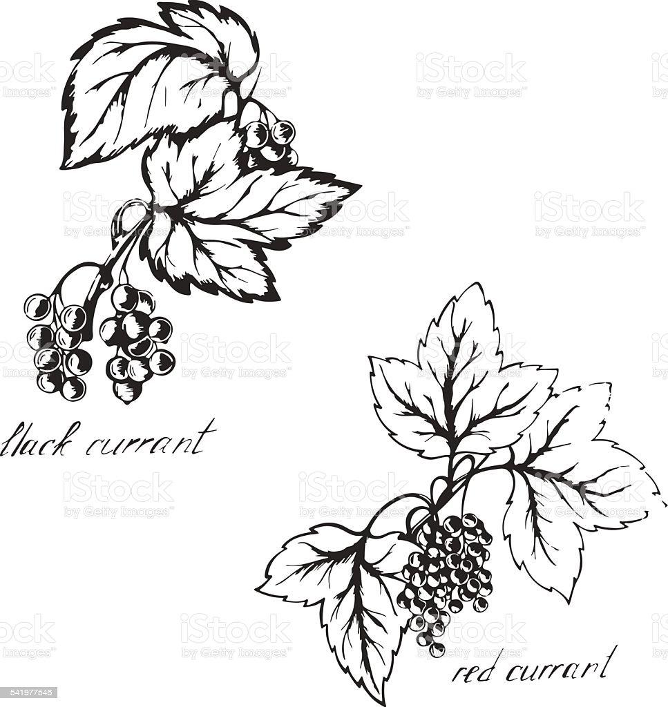 Sketch black and red currants vector art illustration