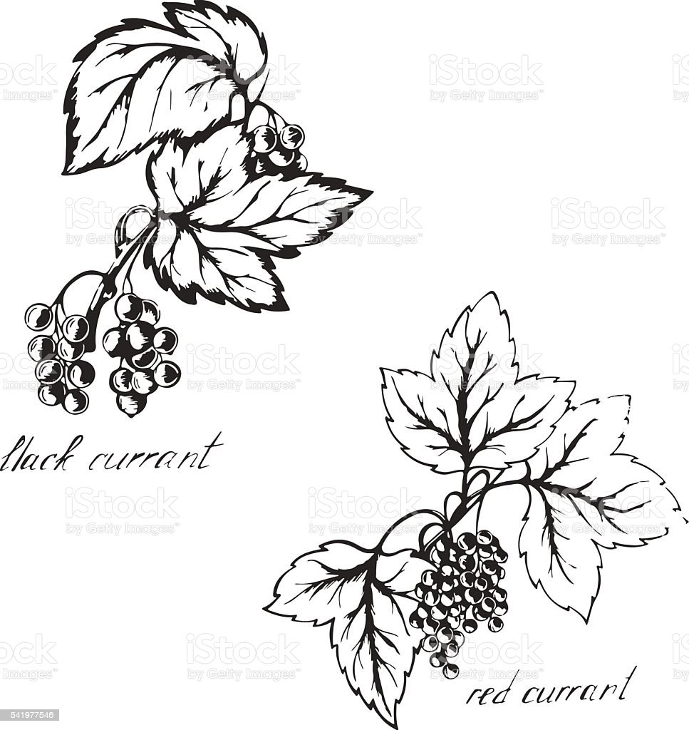 Sketch black and red currants vector art illustration
