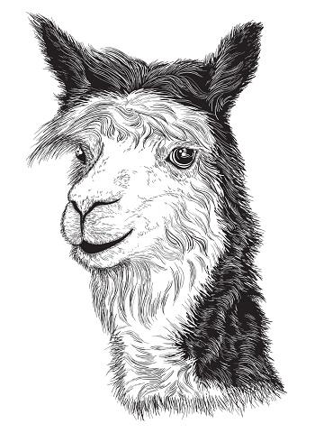 Llama Clip Art, Vector Images & Illustrations - iStock