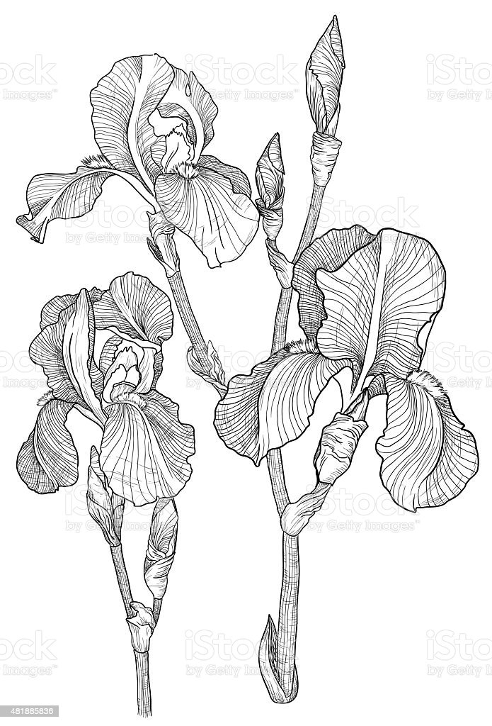 Sketch of bouquet of blooming irises vector art illustration