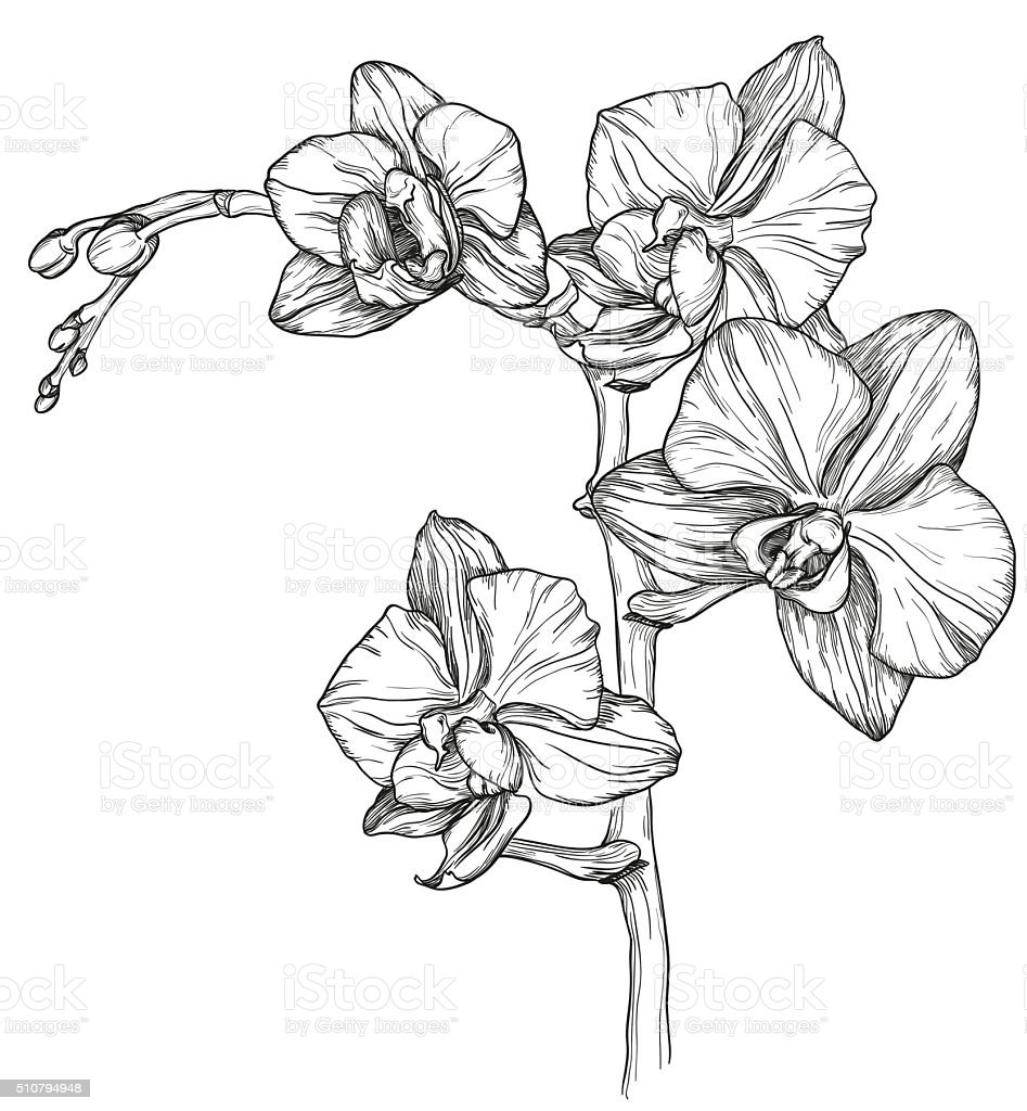 sketch of Orchid flower blossom vector art illustration