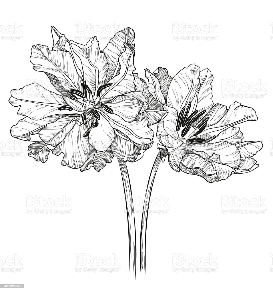 Sketch of tulips on a white background vector art illustration