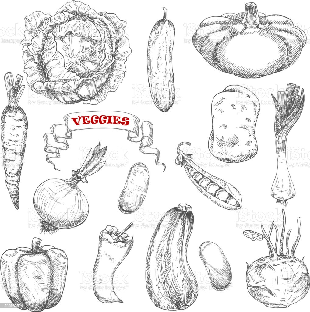 Sketches of isolated farm vegetables vector art illustration