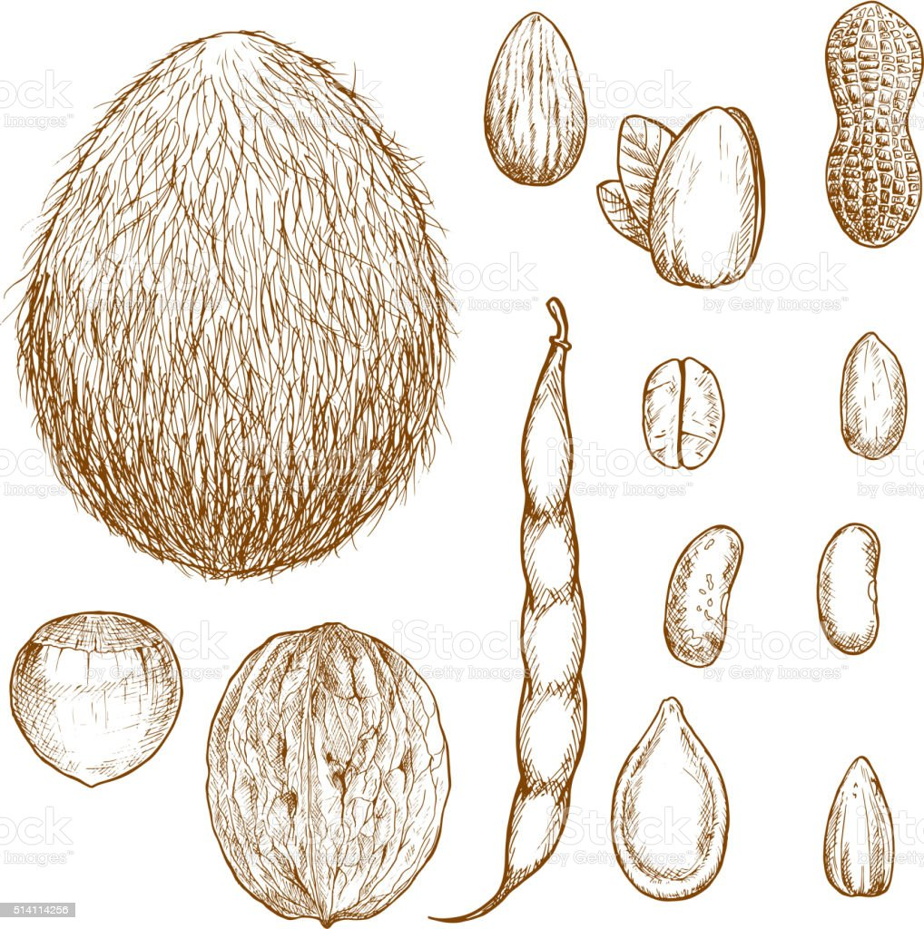 Sketches of nuts, beans and seeds vector art illustration