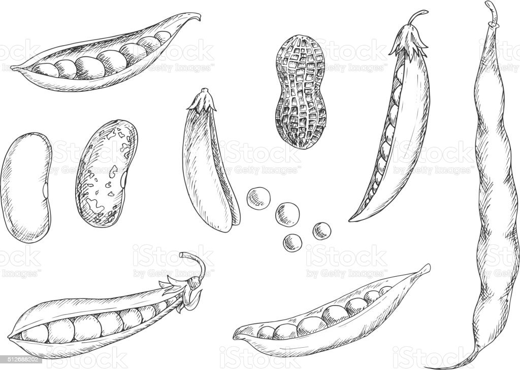 Sketches of peanut, pea pods and beans vector art illustration