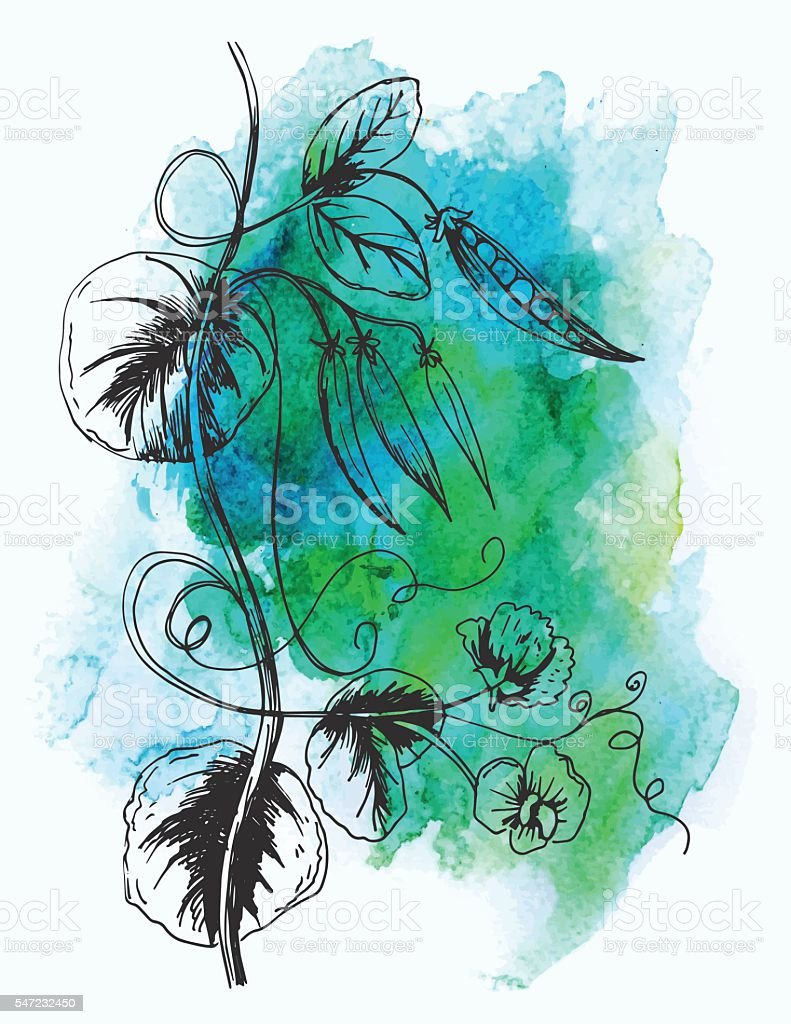 Sketchy Hand Drawn Peas Growing On A Vine vector art illustration