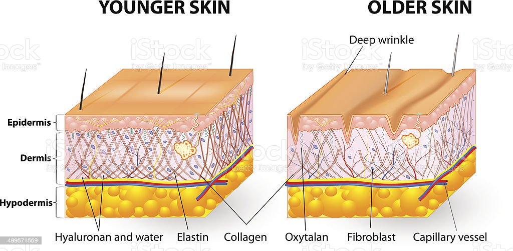skin aging vector art illustration