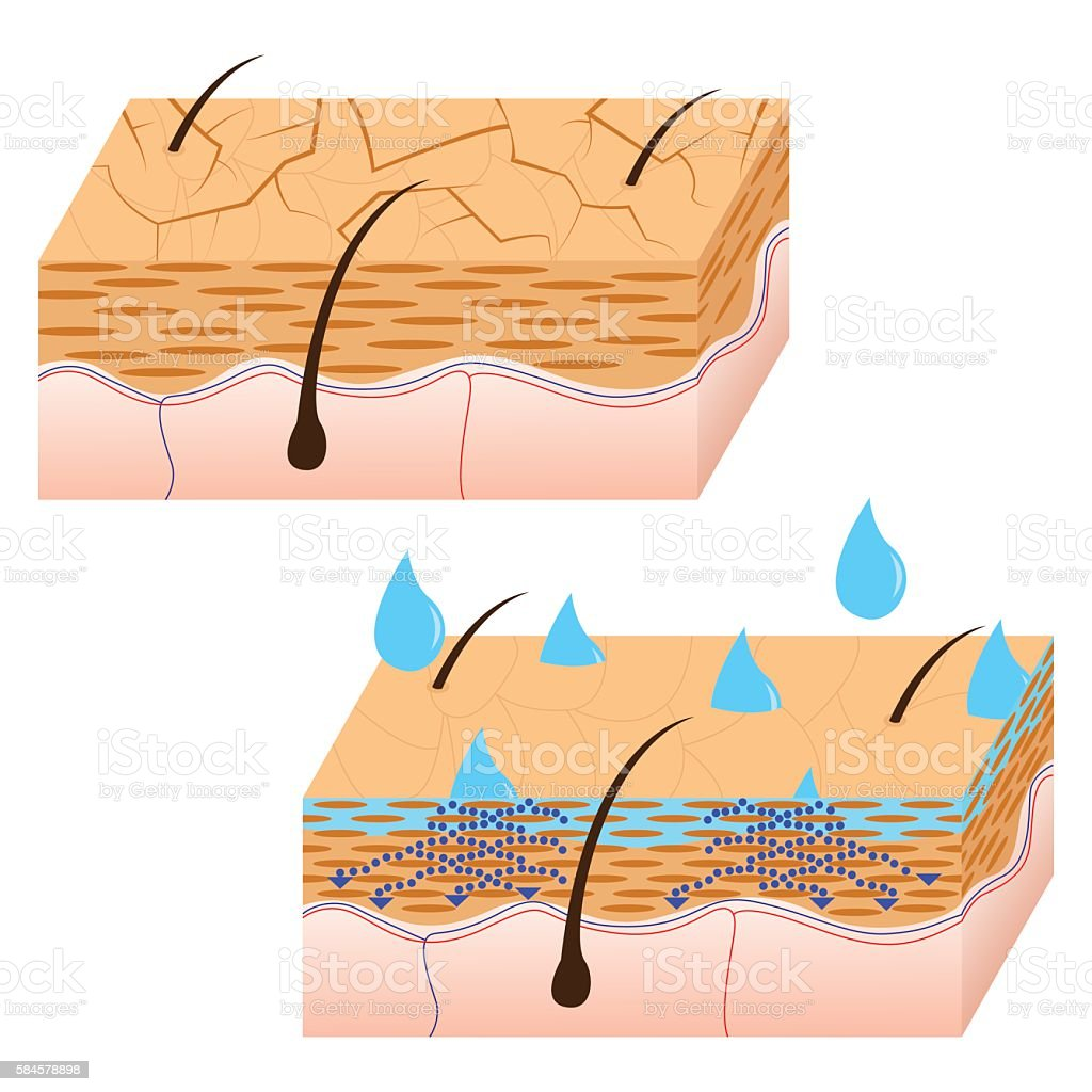 Skin hydration sectional view. vector art illustration