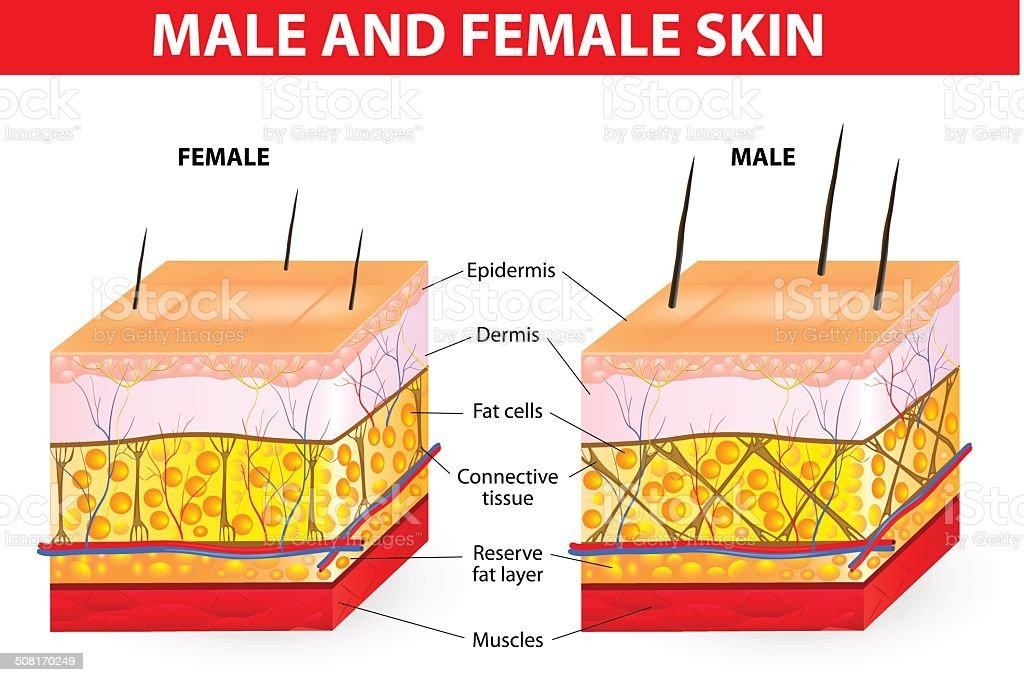 Skin male and female vector art illustration
