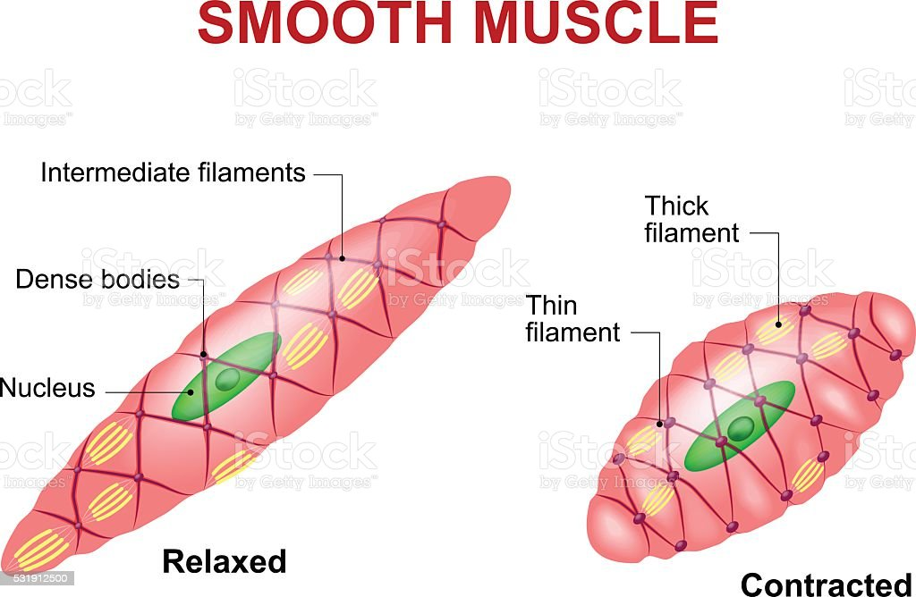 Smooth muscle tissue vector art illustration