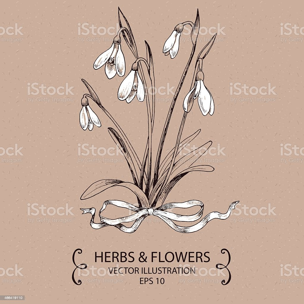 Snowdrops white bow vector art illustration