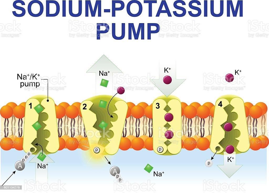 sodium-potassium pump vector art illustration