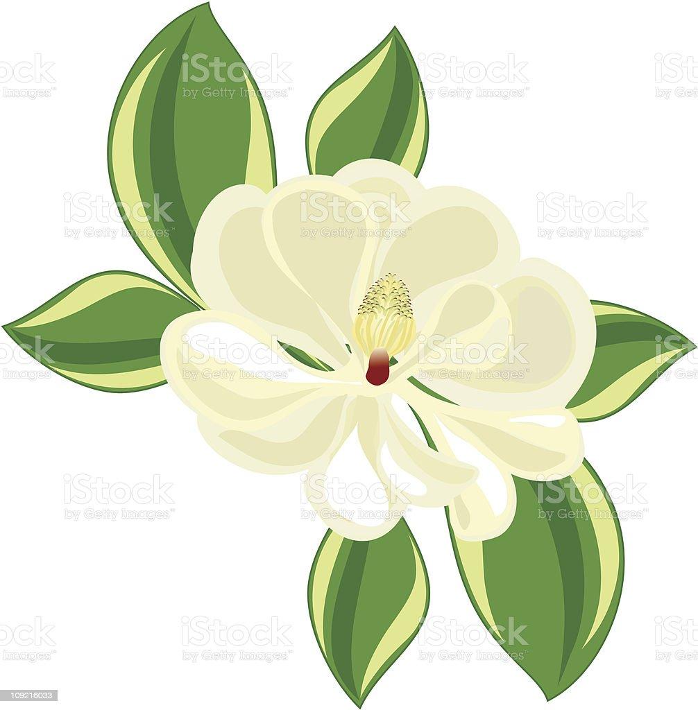 southern magnolia vector art illustration