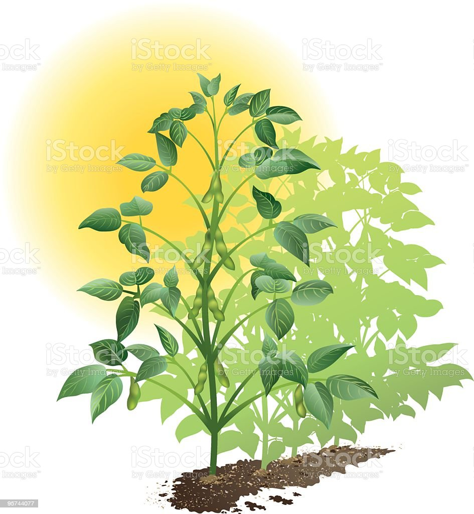 Soybean Plants royalty-free stock vector art
