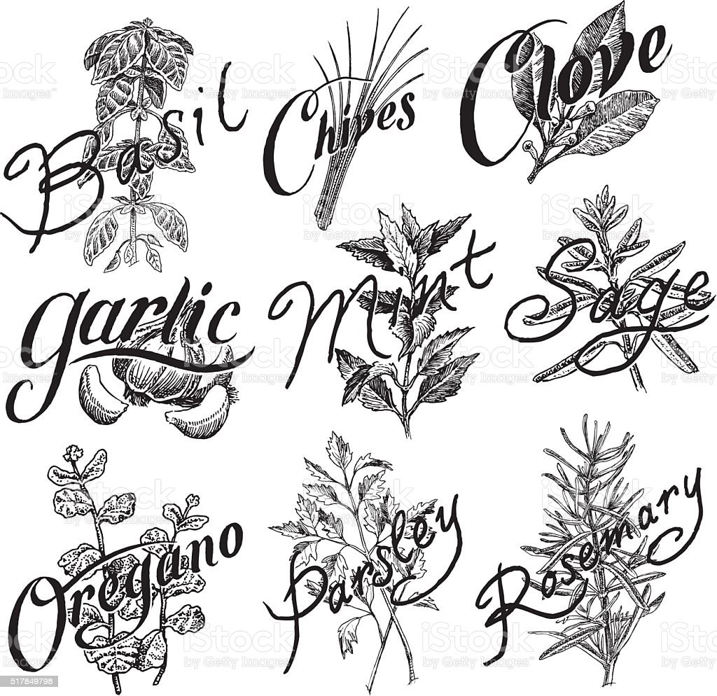 Spices, Basil, Mint, Clove, Parsley, Oregano, Garlic, Chives, Rosemary vector art illustration