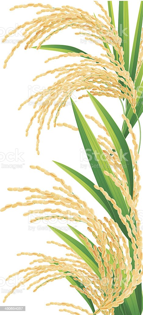Spikelet of rice on a white background. royalty-free stock vector art