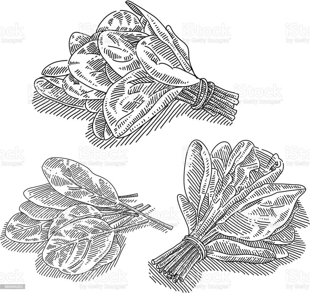 Spinach Drawing vector art illustration
