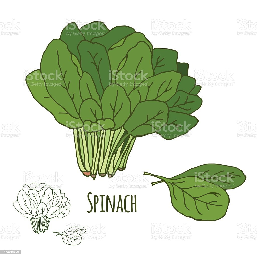 Spinach. Green salad leaf vegetable. vector art illustration