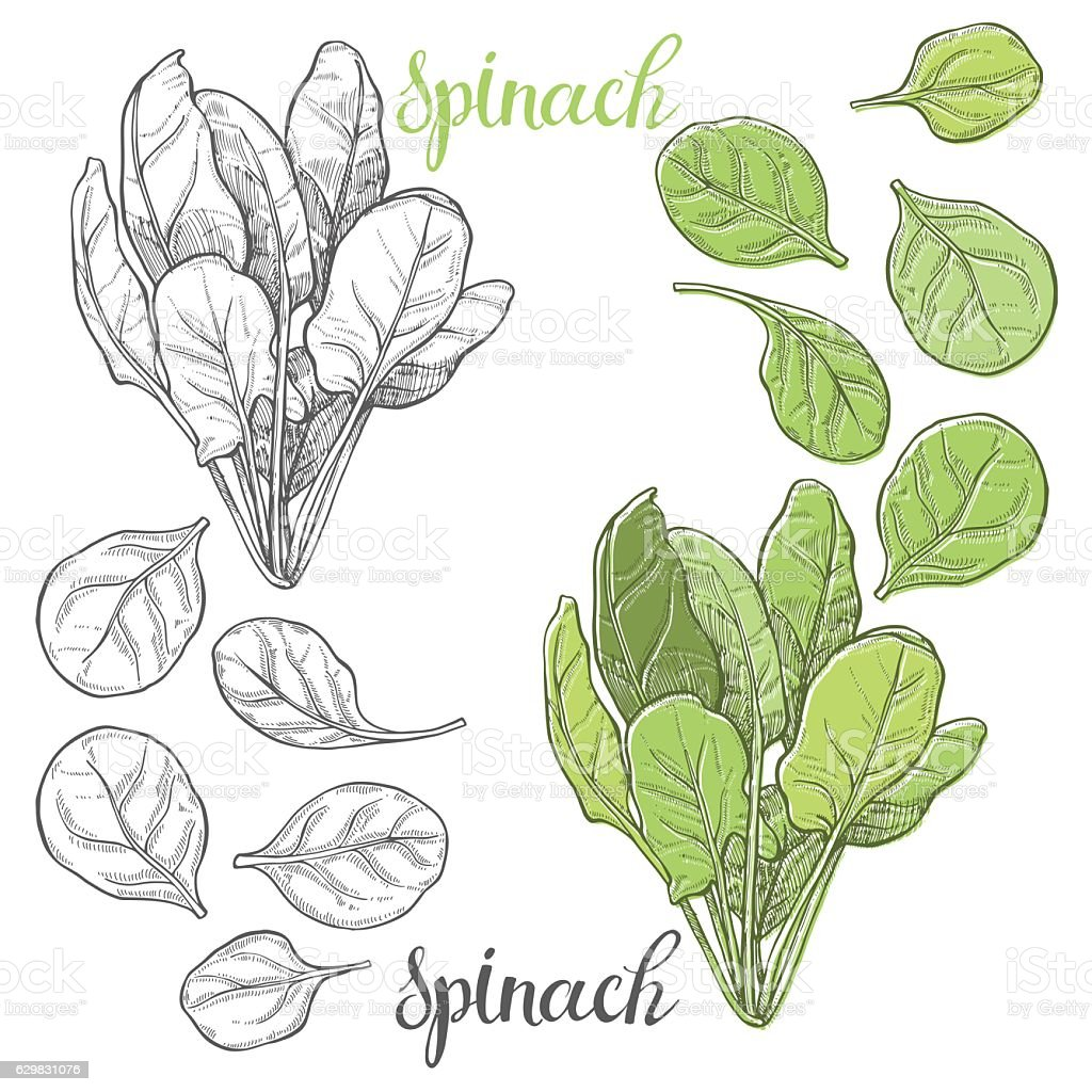 Spinach. Hand drawn vector illustration, sketch. Elements for design. vector art illustration