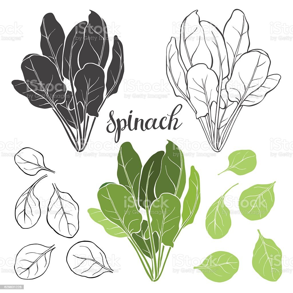Spinach, isolated vector elements on a white background. vector art illustration