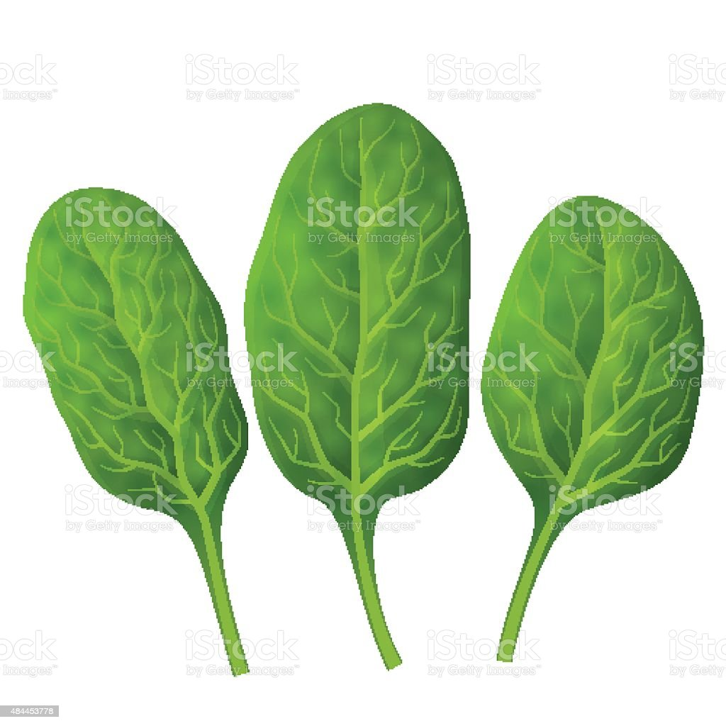 Spinach leaves close up vector art illustration