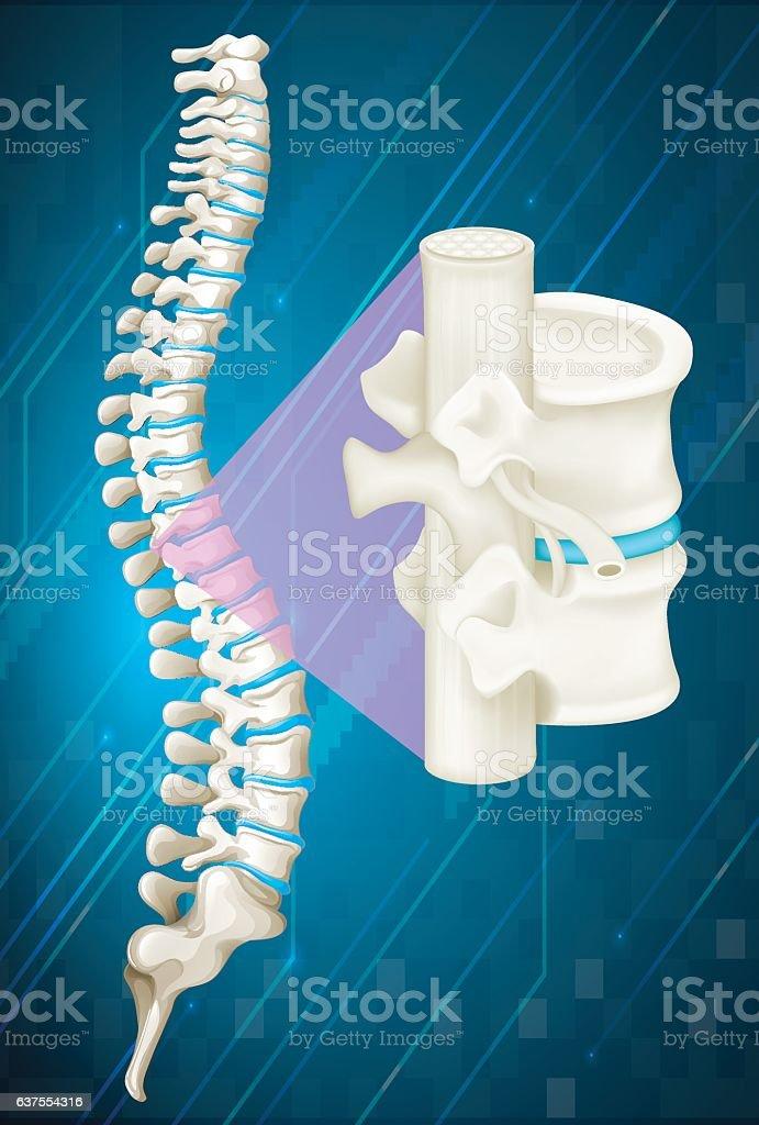 Spine bone on blue background vector art illustration