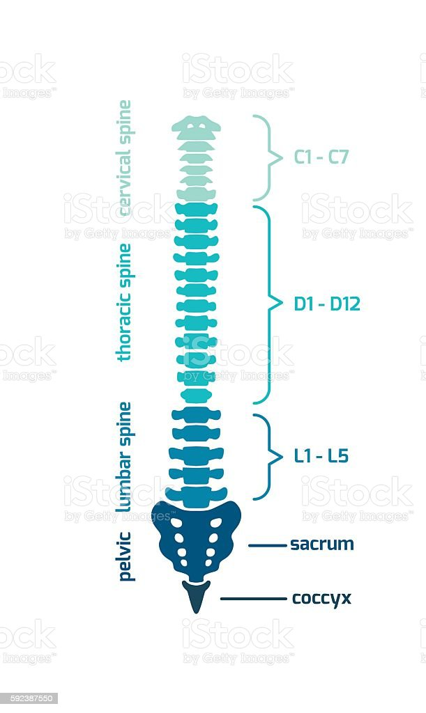 Spine diagram vector art illustration