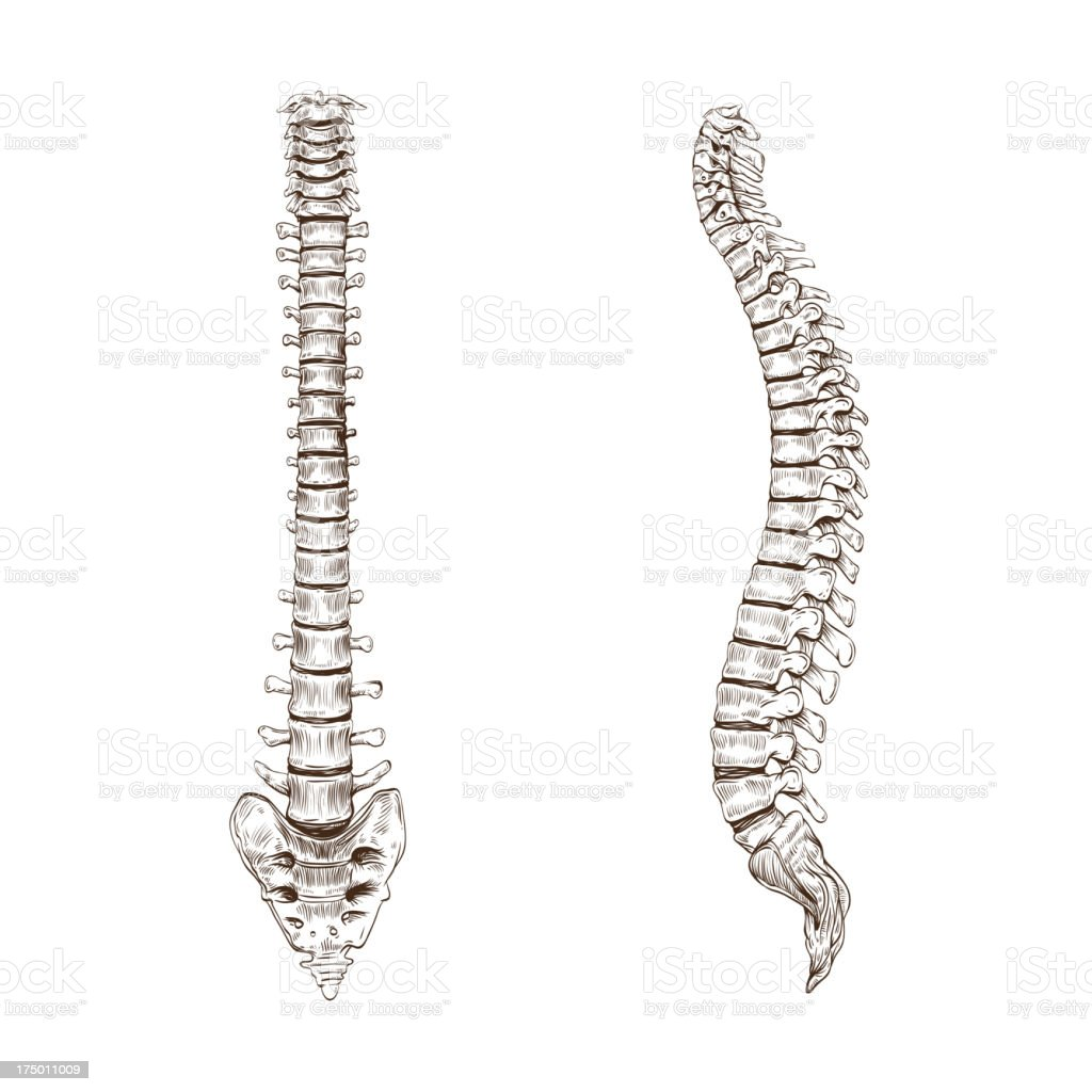 Spine isolated on a white backgrounds vector art illustration