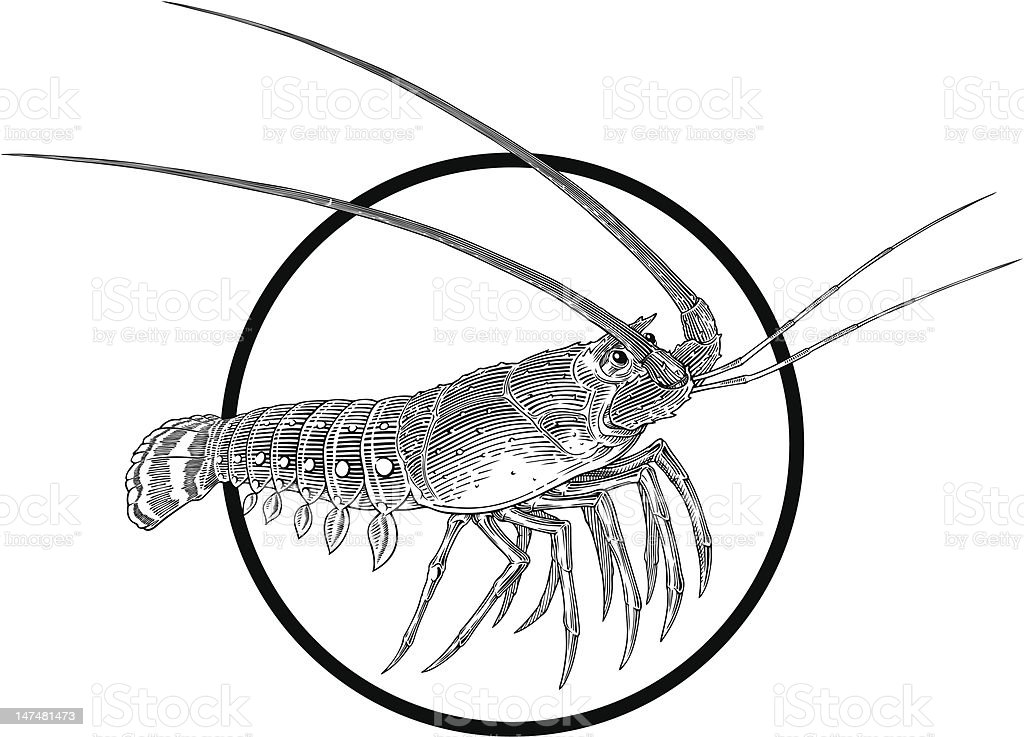 spiny lobster royalty-free stock vector art