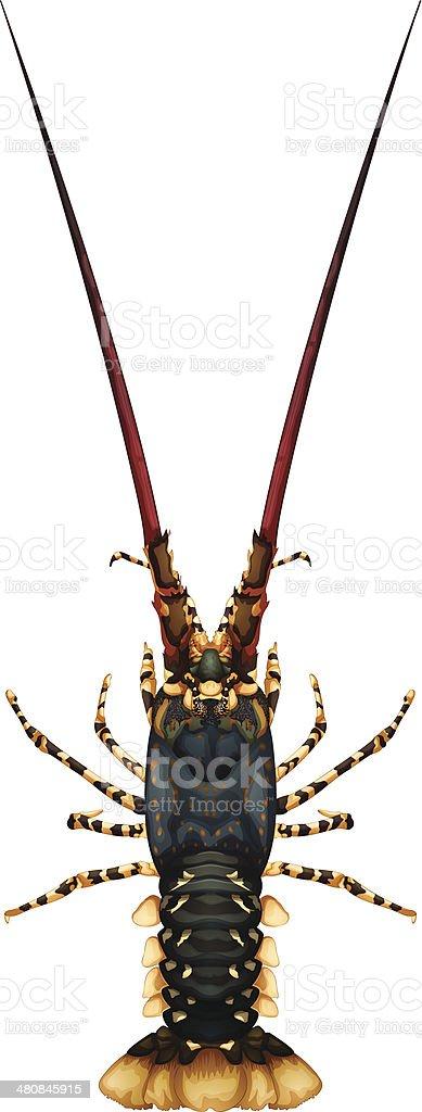 Spiny rock lobster - Panulirus royalty-free stock vector art