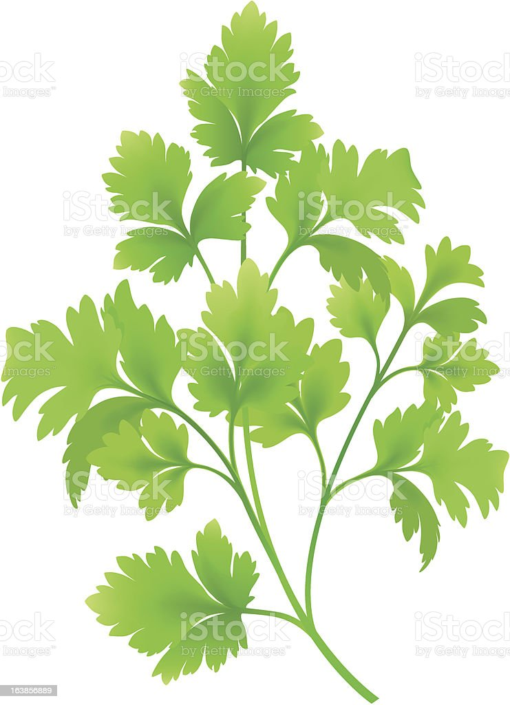 Sprig of bright green parsley against a white background vector art illustration