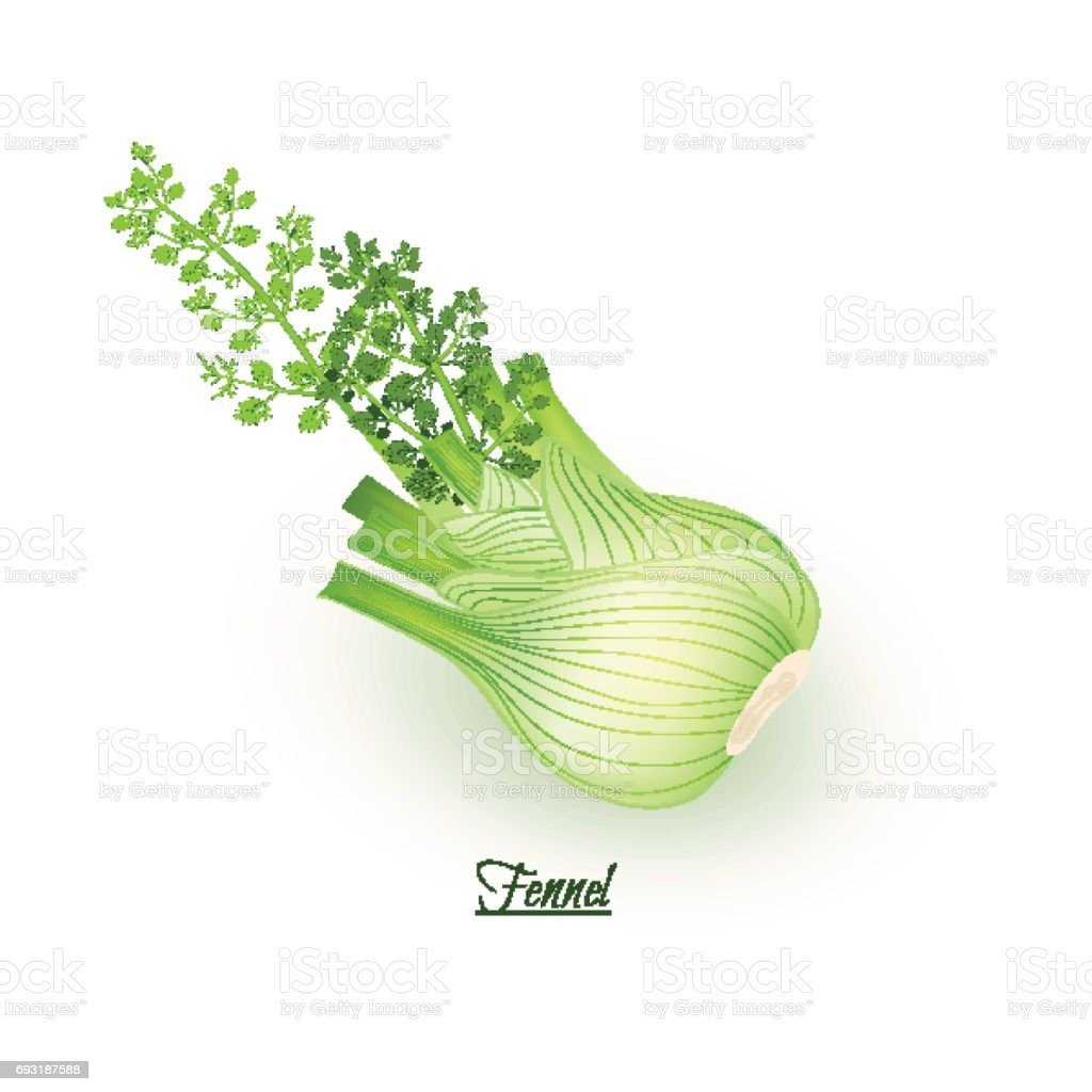 Sprigs of fresh delicious  fennel in realistic style vector art illustration
