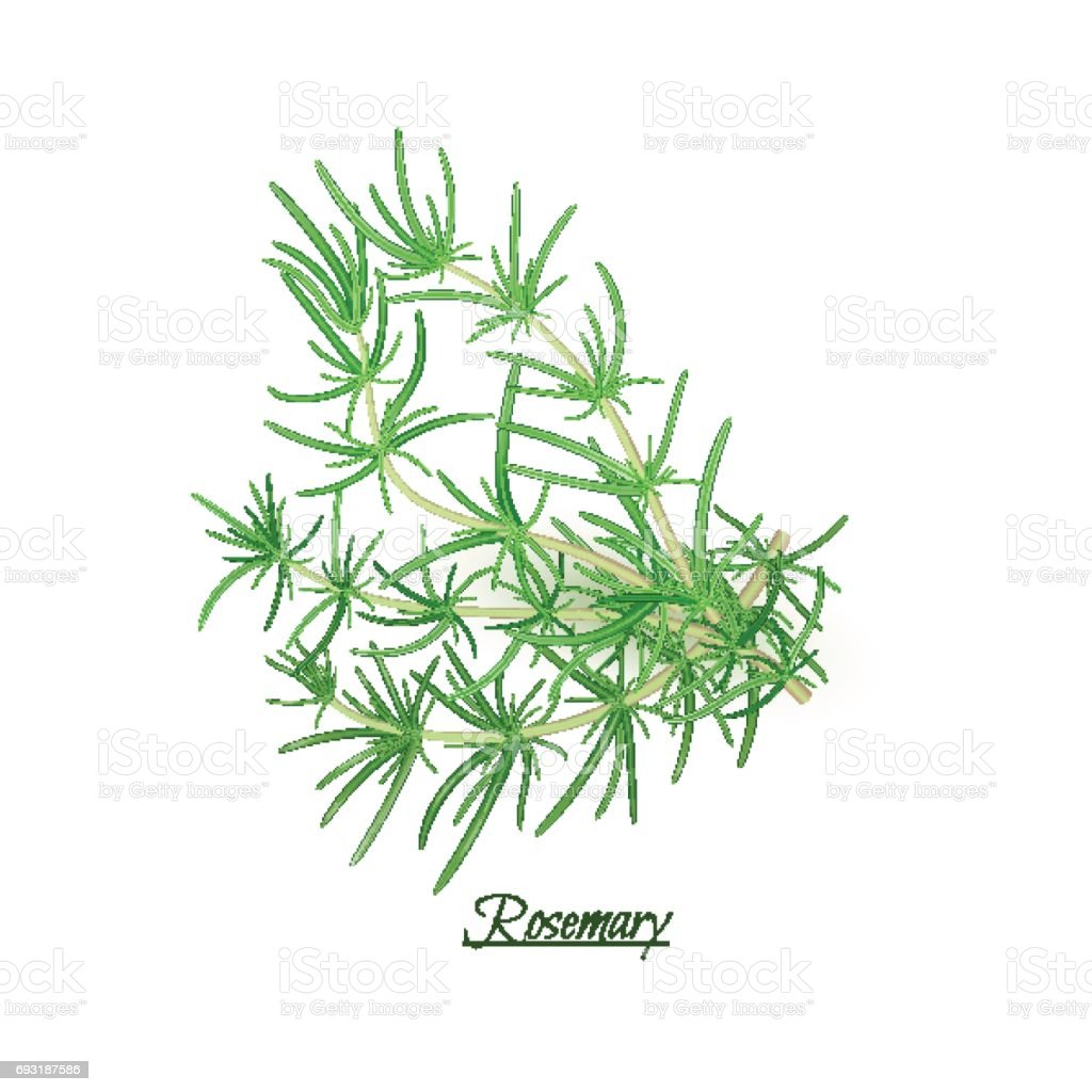 Sprigs of fresh delicious Rosemary in realistic style vector art illustration