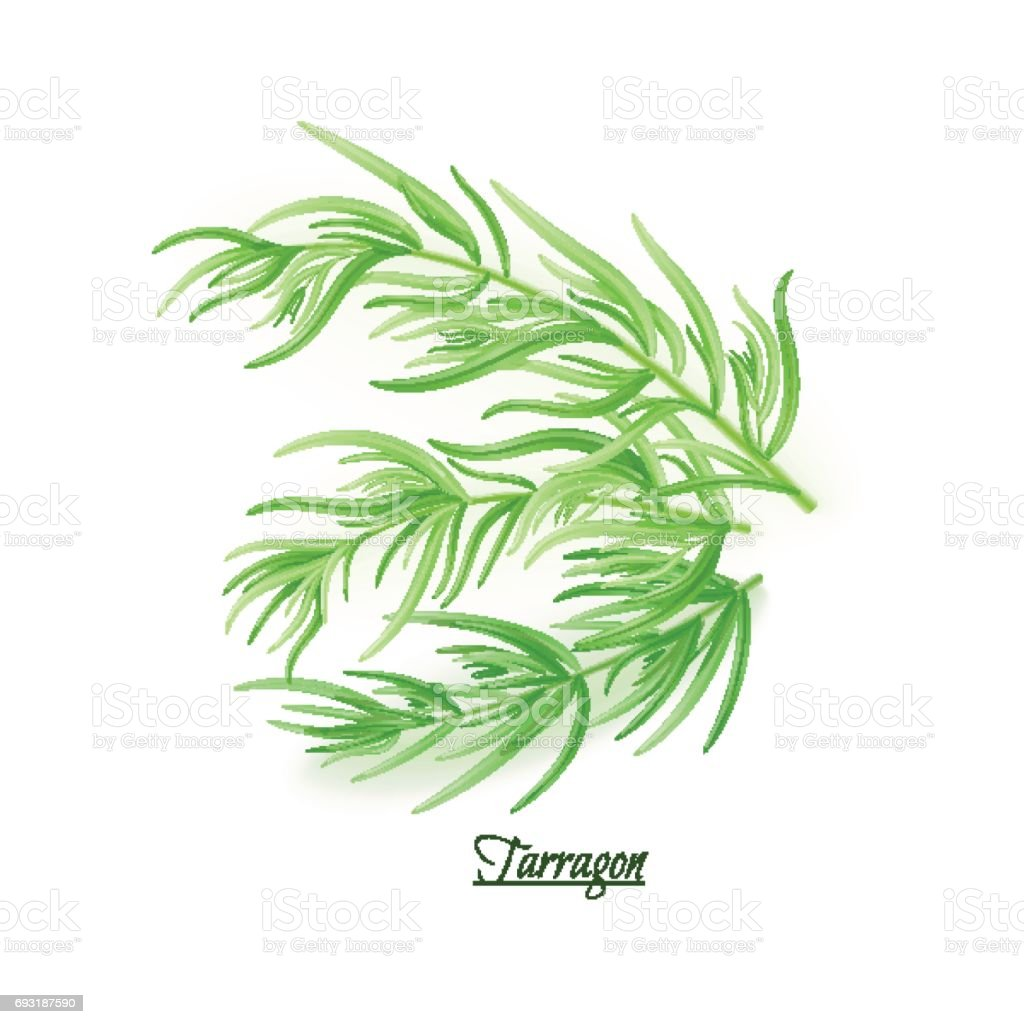 Sprigs of fresh delicious tarragon in realistic style vector art illustration