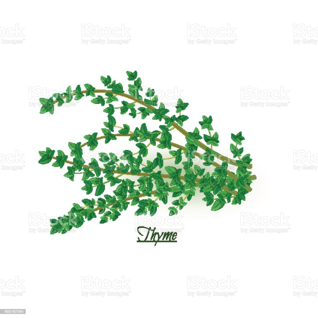 Sprigs of fresh delicious thyme in realistic style vector art illustration
