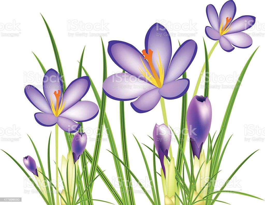spring crocus flowers, vector illustration vector art illustration