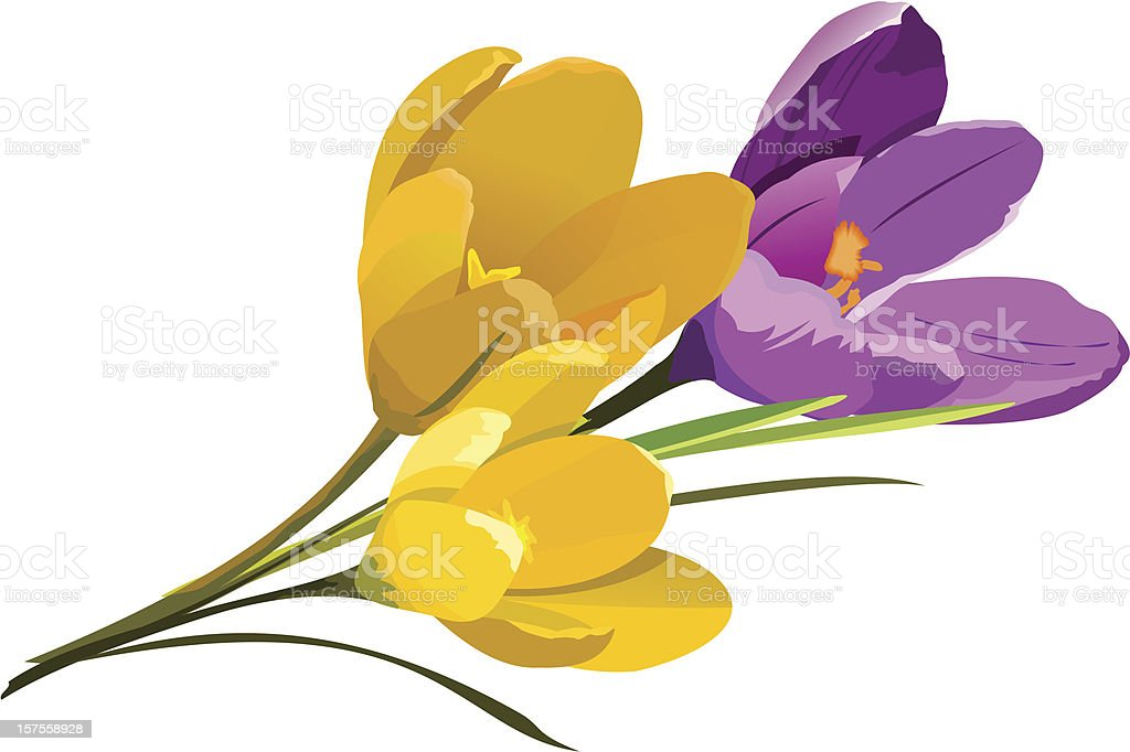 Spring flowers. Crocus vector art illustration