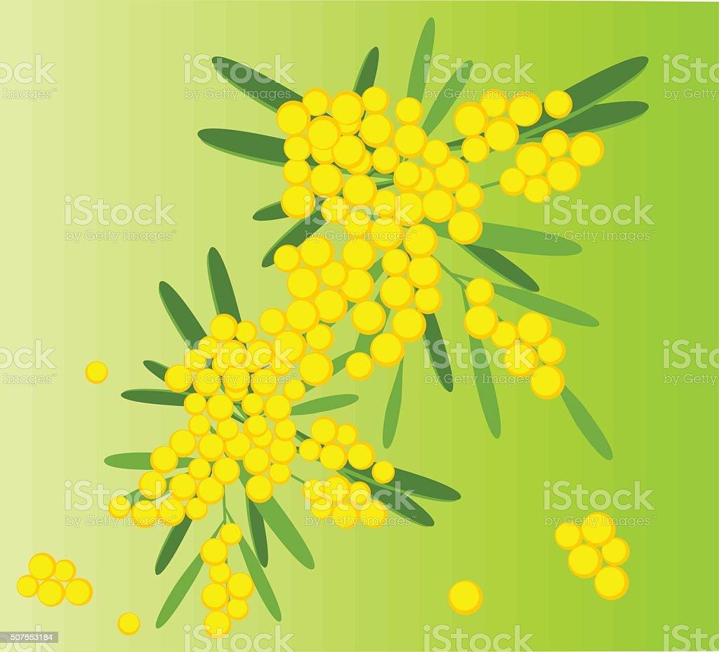 spring flowers mimosa vector art illustration