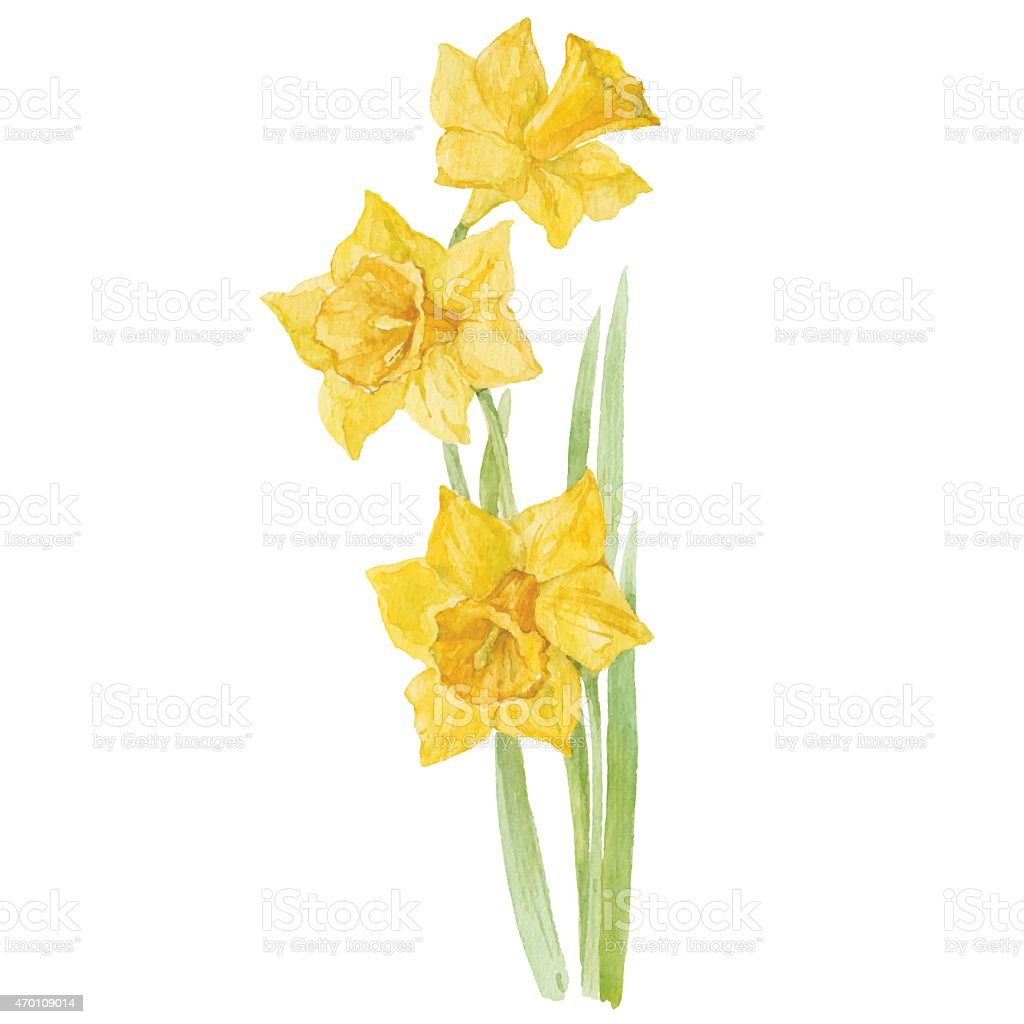 Spring flowers narcissus isolated on white background. Vector, watercolor  illustration. vector art illustration
