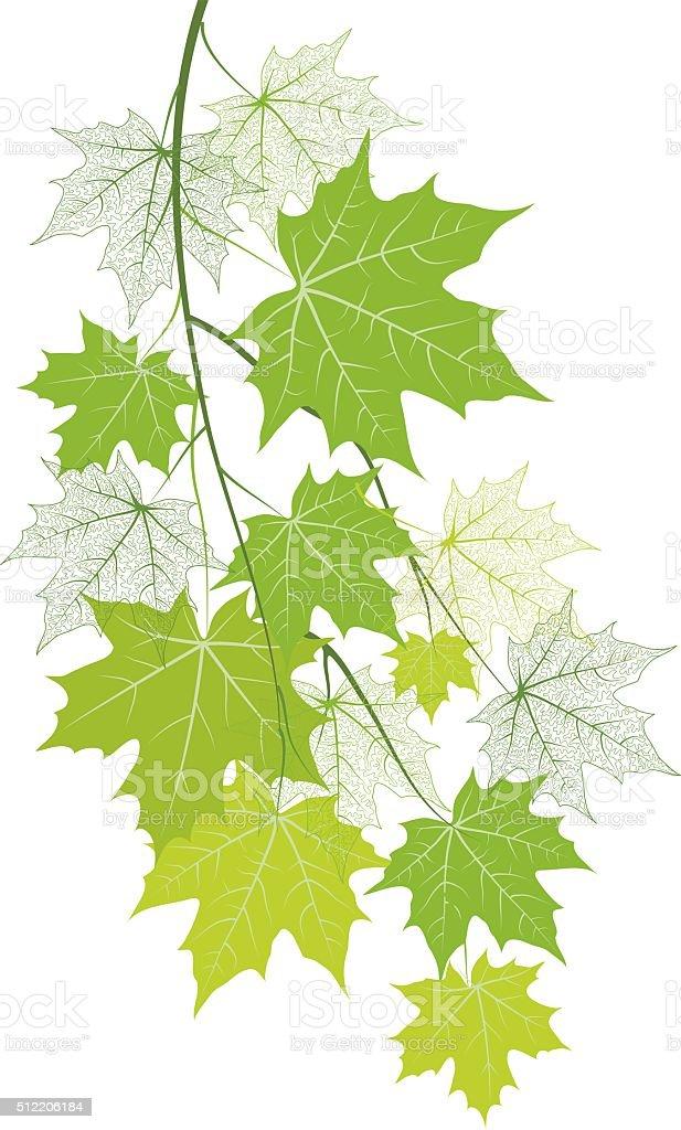 Spring  maple branch vector art illustration