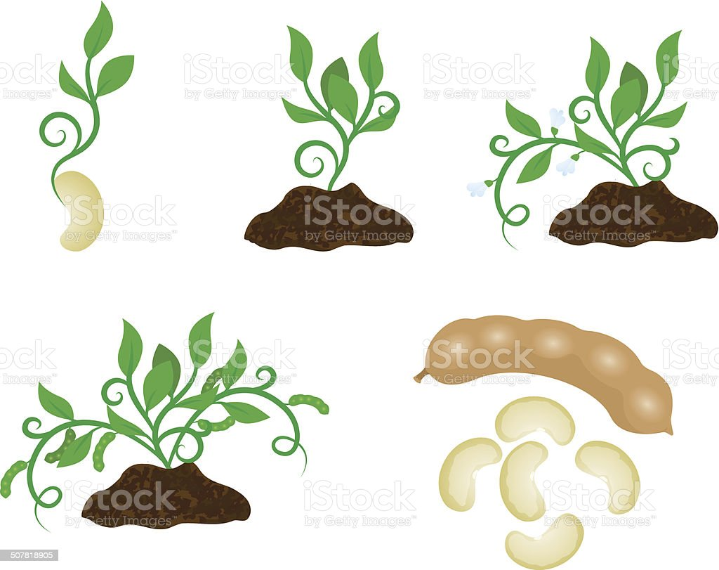 Sprout in different stages vector art illustration
