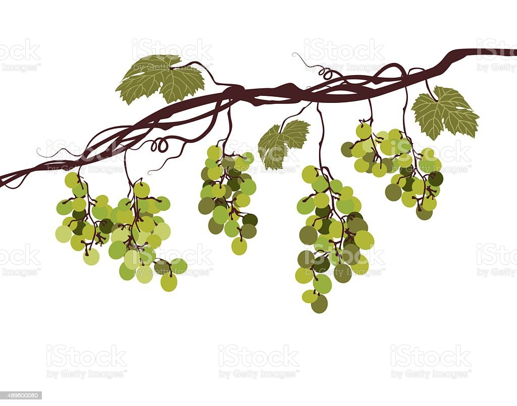 Sstylized graphic image of a vine with pink grapes vector art illustration