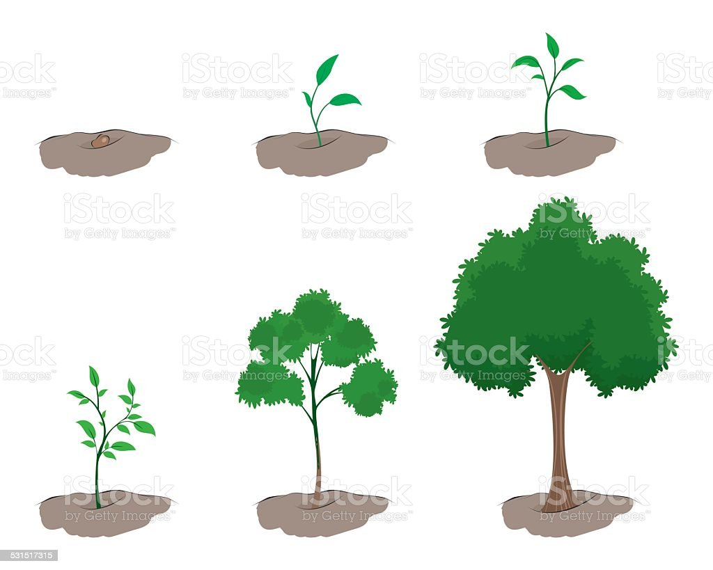 Stage of growth of the tree vector art illustration