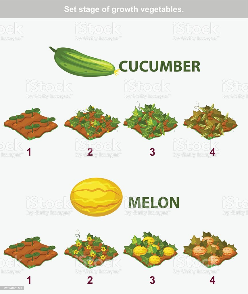 stage of growth vegetables. Cucumber and melon vector art illustration