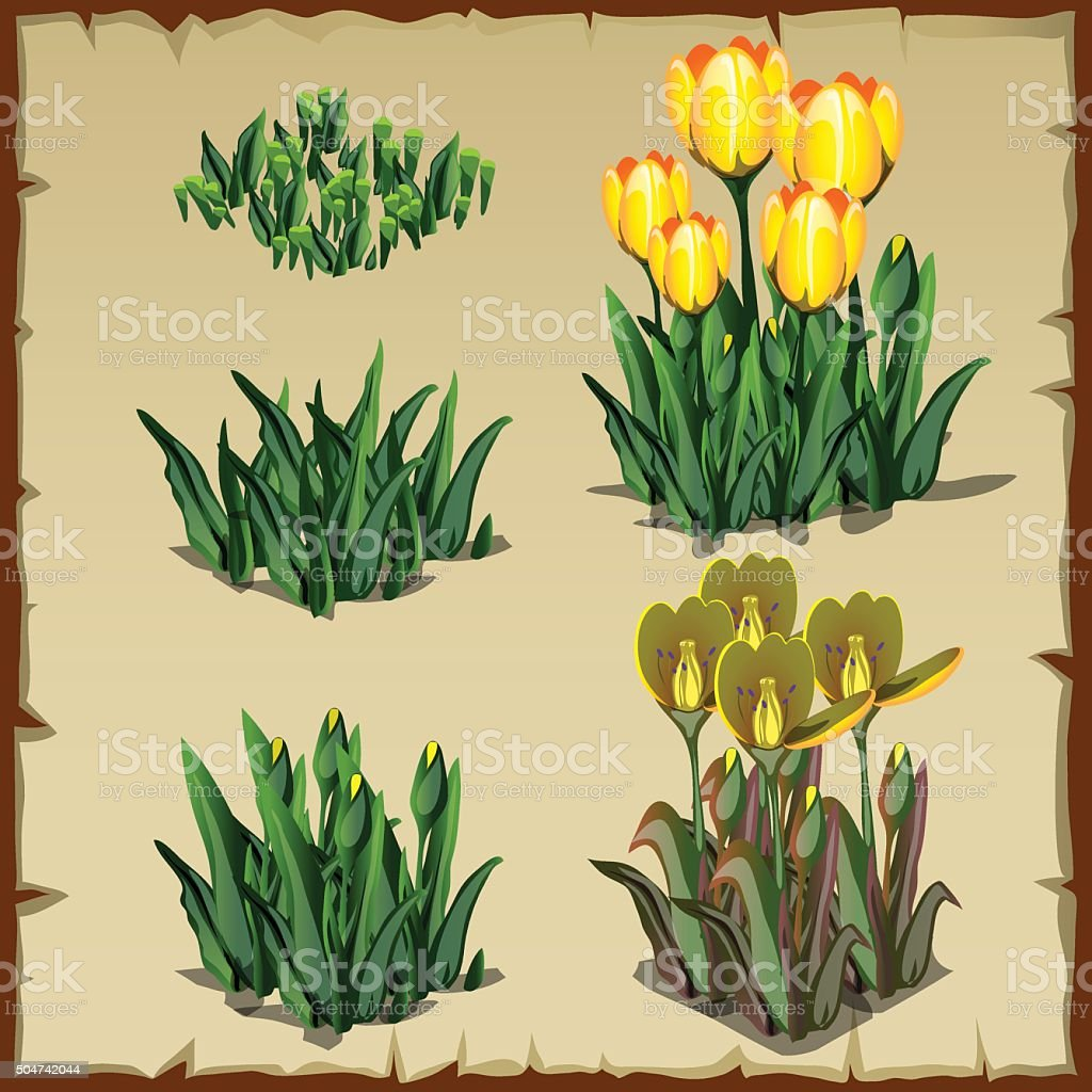 Stages of growth tulips, planting and withering vector art illustration