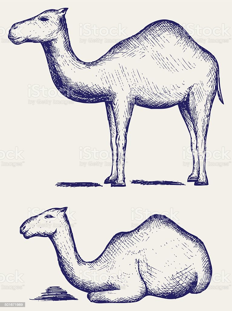 Standing and lying camels vector art illustration